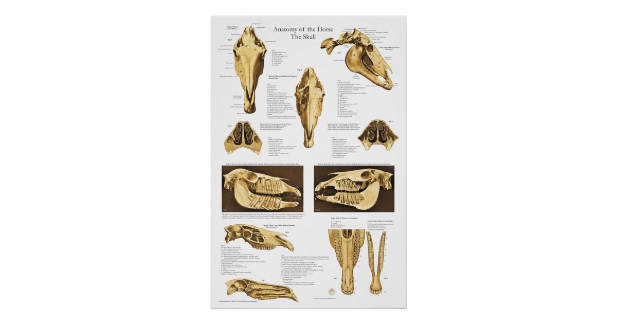 Horse Skull Anatomy Poster Anatomical Chart | Zazzle.co.nz