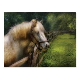 Horse - White Stallion Post Cards