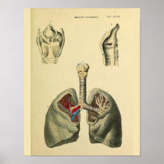 Human Lungs Trachea Anatomy Art Print