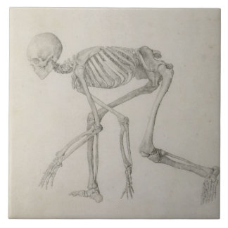 Human Skeleton: Lateral view in Crouching Posture, Large Square Tile