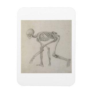 Human Skeleton: Lateral view in Crouching Posture, Rectangular Photo Magnet