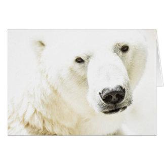 Icy stare of a polar bear card