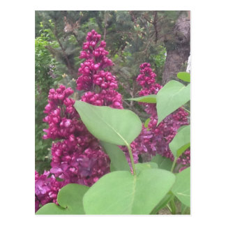 image.jpg lilacs postcard