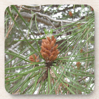 Immature male or pollen cones of pine tree coaster
