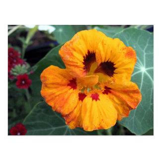 Intense Yellow-Orange Nasturtium Post Cards