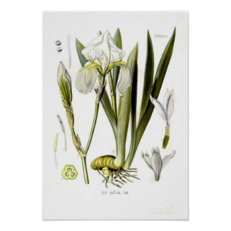 Iris pallida poster