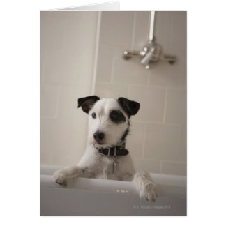 Jack russell terrier. card