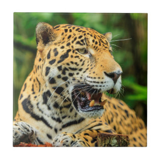 Jaguar shows its teeth, Belize Tile