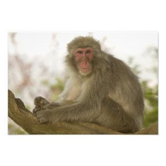 Japan, Honshu island, Kyoto, Arashiyama Monkey Art Photo