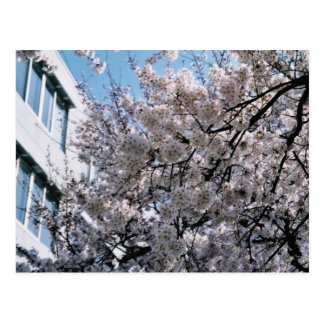 Japanese Cherry Blossoms Sakura Postcard