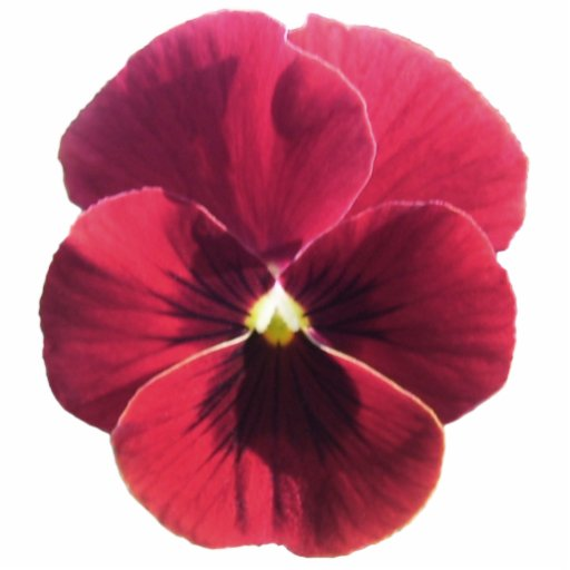 Jewelry - Pin - Dark Red Pansy Photo Sculpture