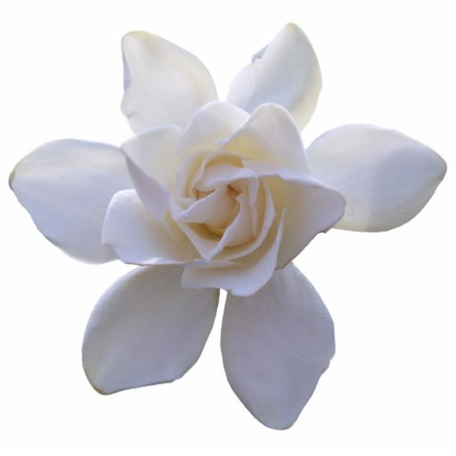 Jewelry - Pin - Gorgeous Gardenia Acrylic Cut Out
