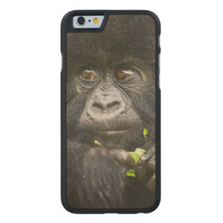 Juvenile Mountain Gorilla feeds on tender leaves 2 Carved® Maple iPhone 6 Case