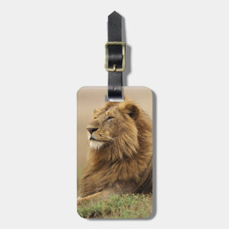 Kenya, Masai Mara. Adult male lion on termite Bag Tag
