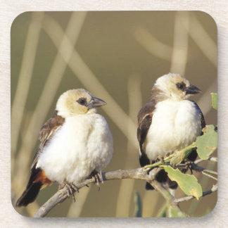 Kenya, Samburu National Reserve. Pair of Coaster