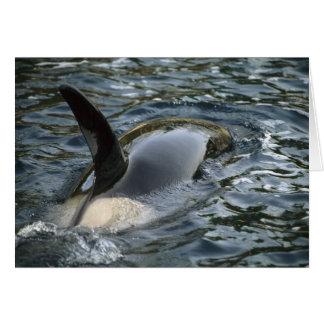 Killer Whale, Orca, Orcinus orca), adult Cards