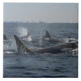 killer whale tile