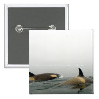killer whales (orcas), Orcinus orca, pod 2 Button
