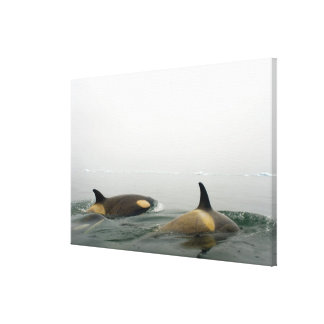 killer whales (orcas), Orcinus orca, pod 2 Gallery Wrapped Canvas