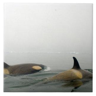 killer whales (orcas), Orcinus orca, pod 2 Large Square Tile