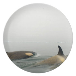 killer whales (orcas), Orcinus orca, pod 2 Party Plates