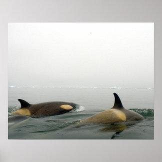 killer whales (orcas), Orcinus orca, pod 2 Poster
