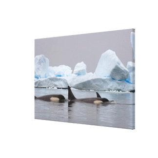 killer whales (orcas), Orcinus orca, pod Canvas Prints