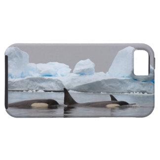 killer whales (orcas), Orcinus orca, pod Tough iPhone 5 Case