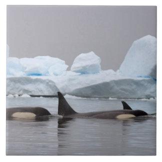 killer whales (orcas), Orcinus orca, pod Large Square Tile