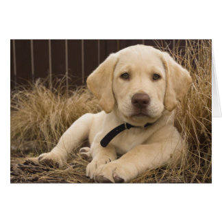 Labrador Retriever puppy Card