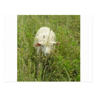 Lamb in the Meadow Postcard