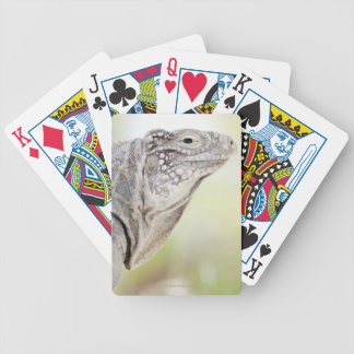 Large green Iguana basking in the sun in the Bicycle Playing Cards