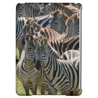 Large herd of Burchell's Zebra