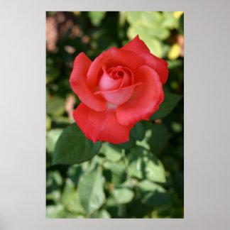 Large orange rose flower blossom up close print
