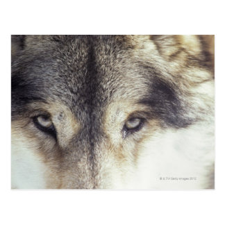 Latin name: Canis Lupus Postcard