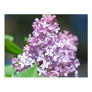 Lavender Lilac  Postcard
