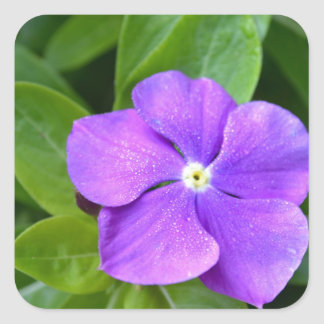 Lavender Phlox Flower Square Sticker