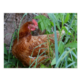 Laying Hen Chicken Poster