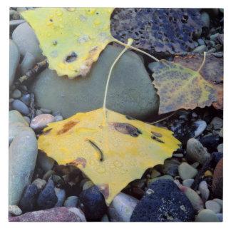 Leaf of Fremont cottonwood on flood plain 2 Tile