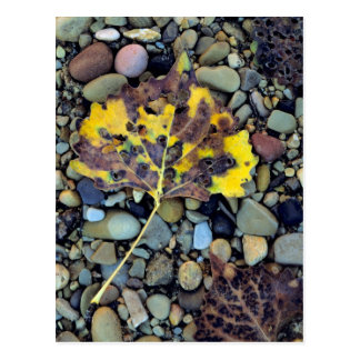 Leaf of Fremont cottonwood on flood plain 3 Postcard