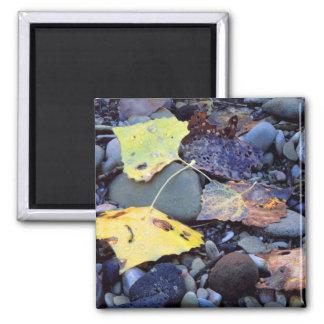 Leaf of Fremont cottonwood on flood plain Magnet