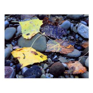Leaf of Fremont cottonwood on flood plain Postcard