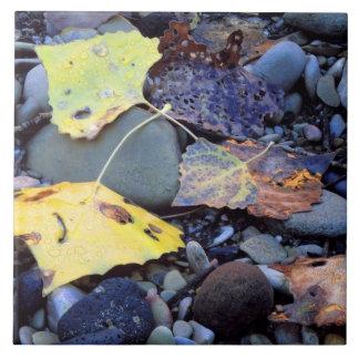 Leaf of Fremont cottonwood on flood plain Tile