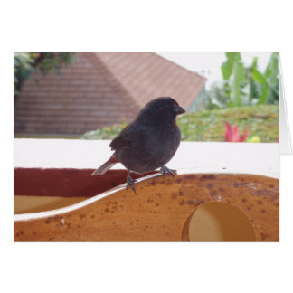 Lesser Antillean Bullfinch Card
