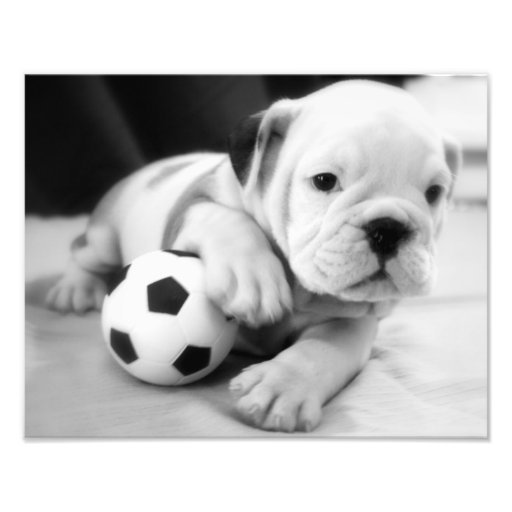 Let's Play Soccer!  English Bulldog Puppy Photo Art