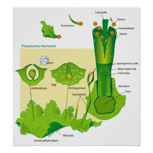 Life Cycle of a Hornwort Plant Diagram Poster