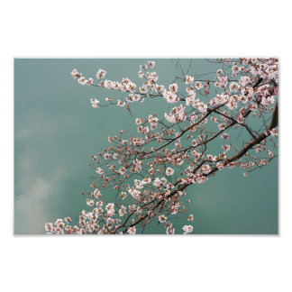 Light pink cherry blossoms on turquois background photo