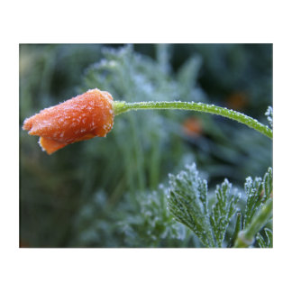 Lightly Frosted California Poppy Photograph Acrylic Print