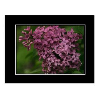Lilac Blossom Postcard! (with border) Postcard