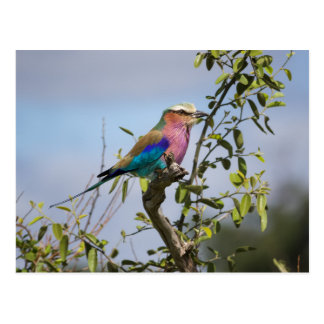 Lilac-Breasted Roller, Africa, Postcard